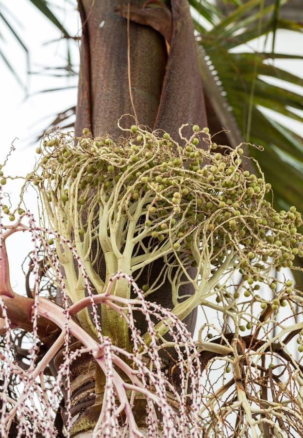 班加洛棕榈种子头  库存照片