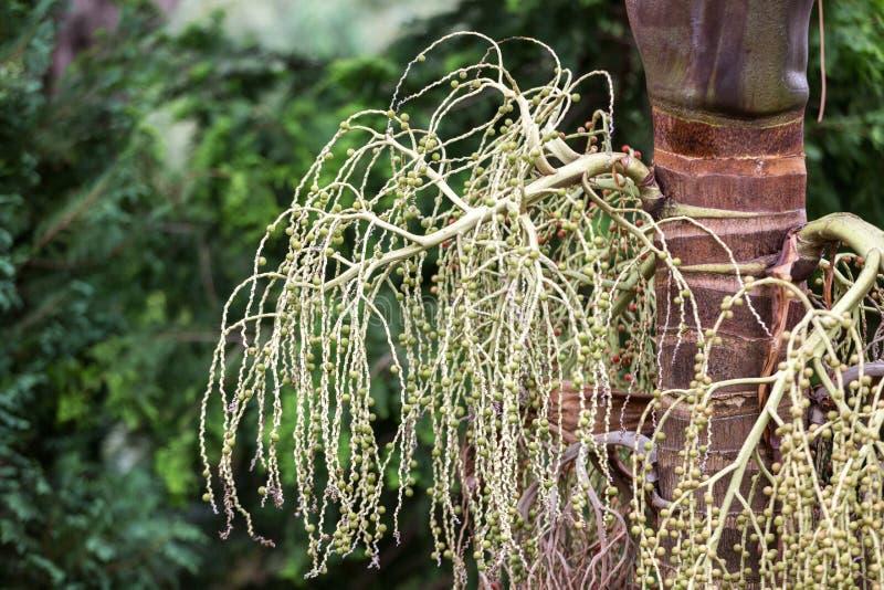 班加洛棕榈种子头  库存图片