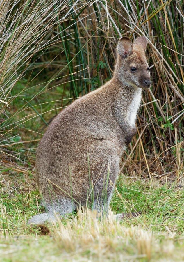 班奈特的鼠-大袋鼠属rufogriseus,也red-necked鼠,中型macropod有袋动物,共同在澳大利亚东部, 免版税库存照片