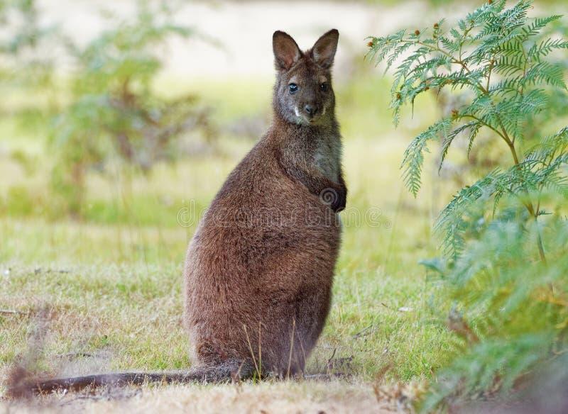 班奈特的鼠-大袋鼠属rufogriseus,也red-necked鼠,中型macropod有袋动物,共同在澳大利亚东部, 免版税图库摄影