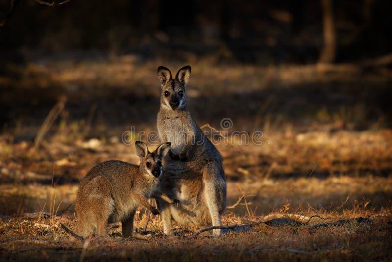 班奈特的鼠-大袋鼠属rufogriseus - red-necked鼠中型macropod有袋动物 库存图片