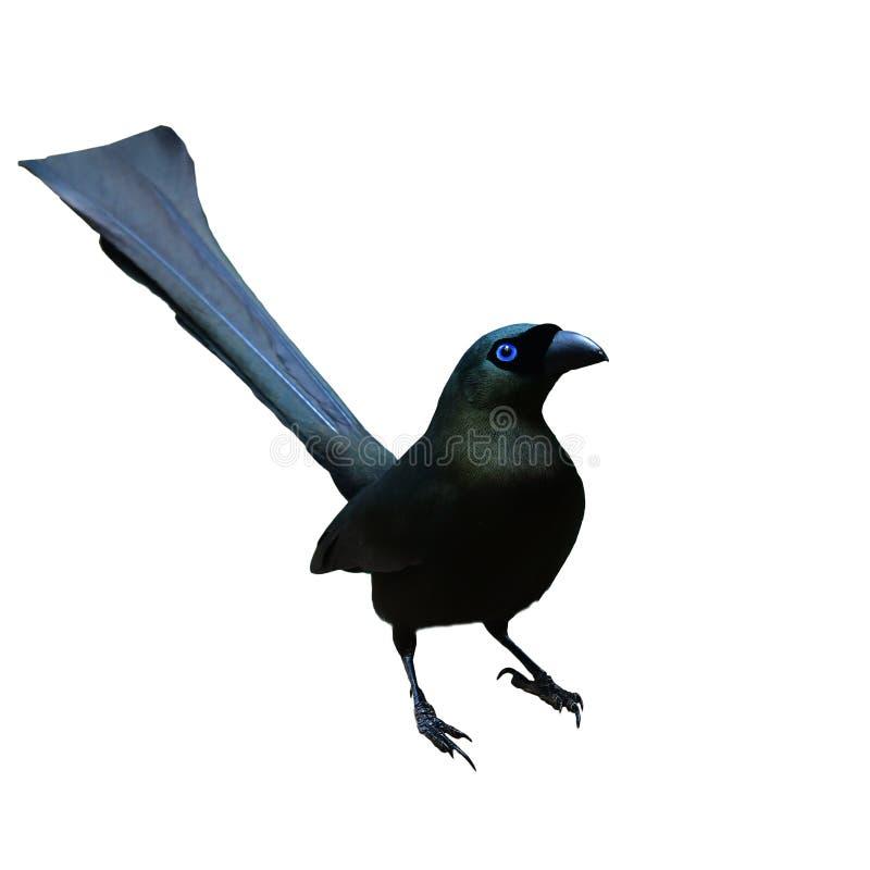 球拍被盯梢的Treepie鸟 库存图片