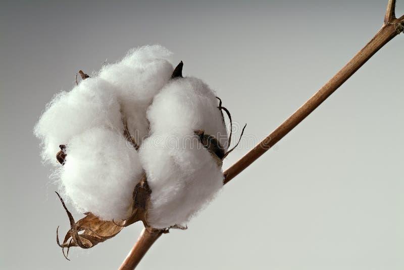 Download 球棉花 库存照片. 图片 包括有 bossies, 棉花, 软性, 织地不很细, 纺织品, 自然, 枝杈, 蓬松 - 3674280