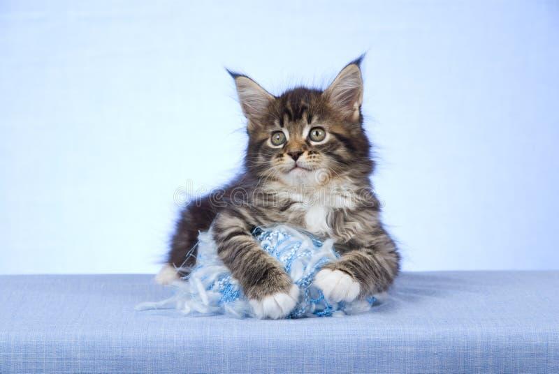 球浣熊逗人喜爱的小猫缅因毛纱 免版税图库摄影