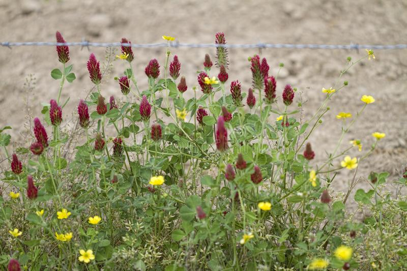 球茎毛茛野花和深红色三叶草 免版税库存图片