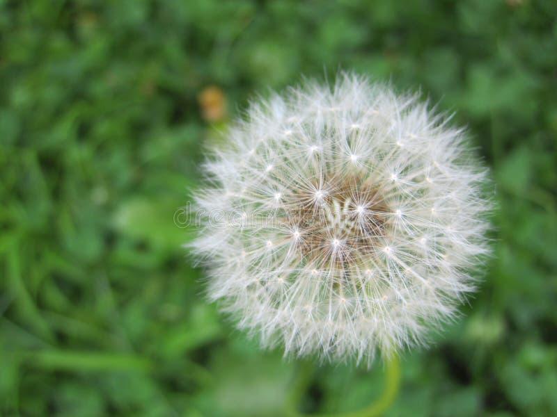 球降伞s蒲公英 库存图片