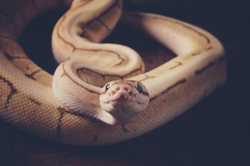 球Python蛇 图库摄影