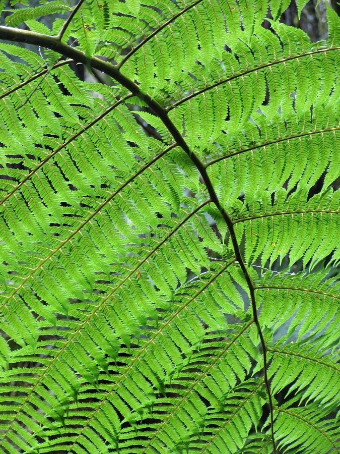 理想蕨的叶子 库存图片
