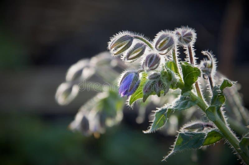 琉璃苣花和芽在黄昏在一个庭院里在秋天 免版税图库摄影