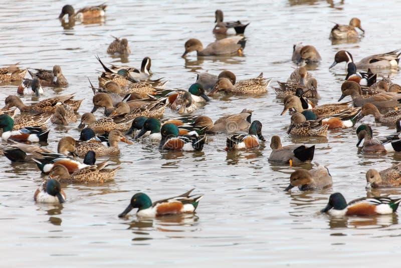 琵嘴鸭和长尾凫 库存照片