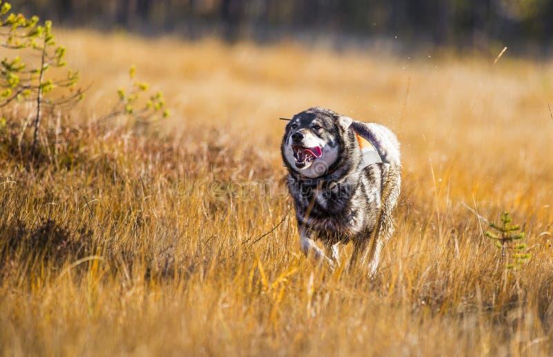 瑞典语Moosehound 免版税库存图片