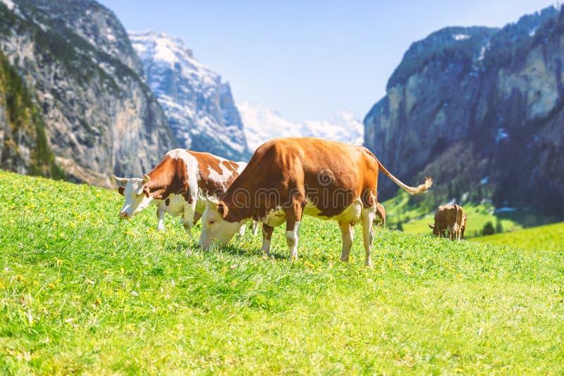 瑞士母牛在一个高山草甸有mountai的背景 图库摄影
