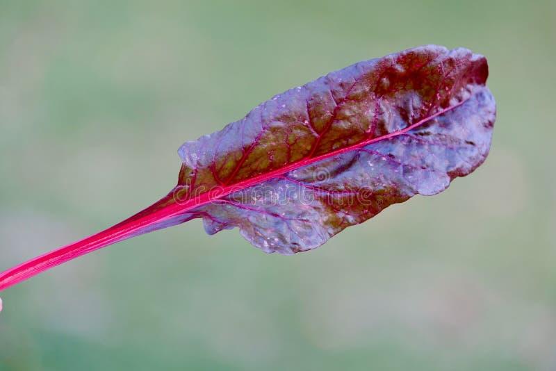 瑞士牛皮菜叶子 库存照片
