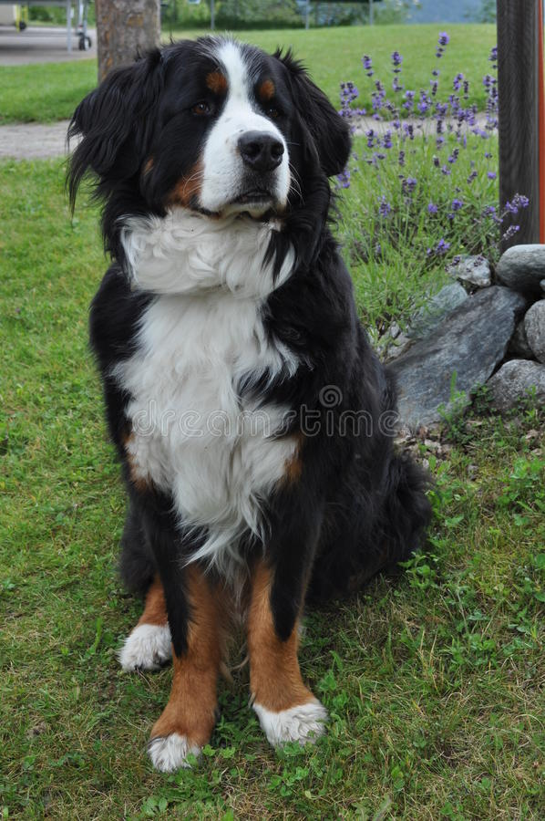 瑞士狗 免版税库存图片