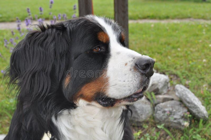 瑞士狗 库存照片