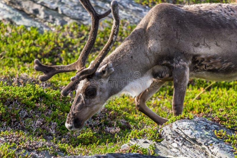 瑟米人民的布朗驯鹿沿路的在挪威 免版税库存图片