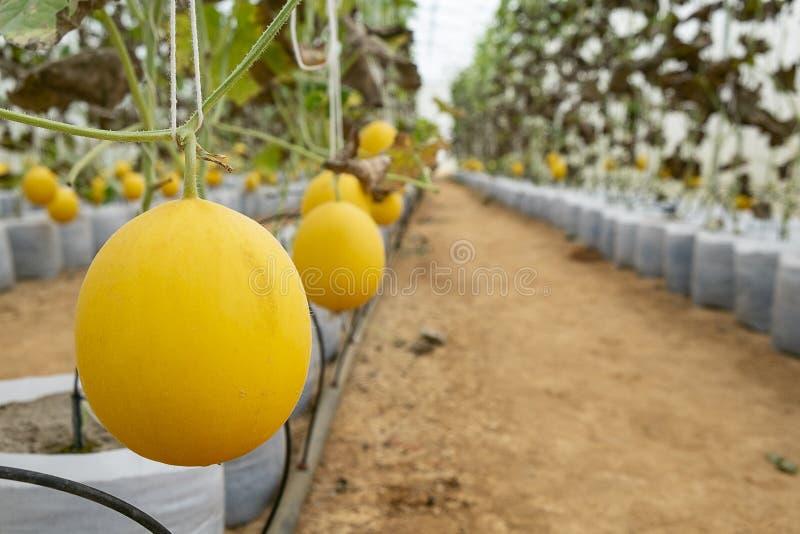 瓜在温室农场 生长在温室、黄色、瓜或者甜瓜瓜植物中的瓜年轻新芽生长  图库摄影