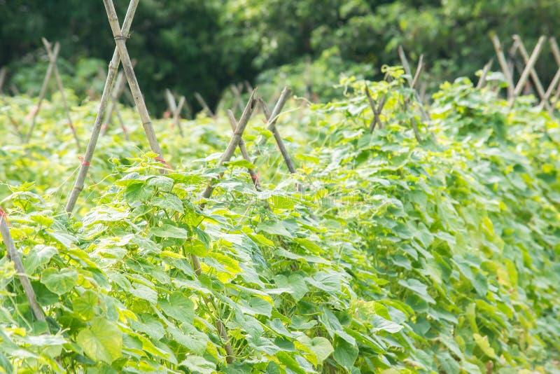 黄瓜植物种田 库存图片