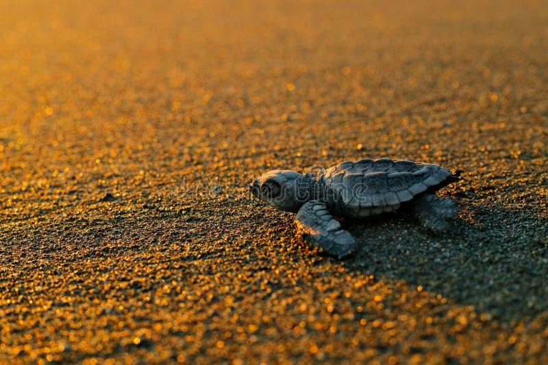 瓜海龟,海龟海龟,平衡在沙滩的诞生,科尔科瓦多湾NP,哥斯达黎加 第一分钟活,小 免版税库存图片