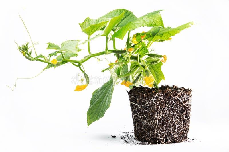 黄瓜的健康发展种植土壤 库存照片