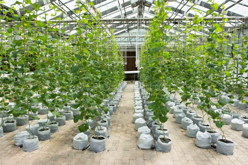 瓜种植园自温室 图库摄影