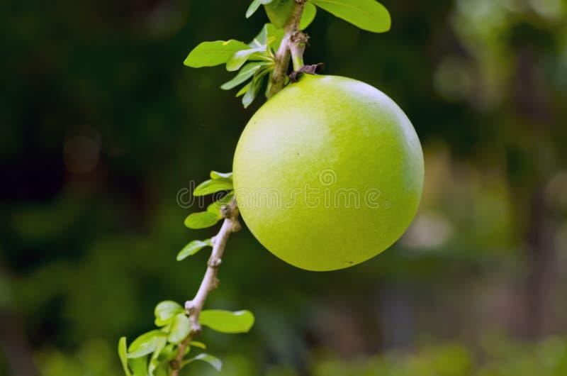 瓢果子 库存图片