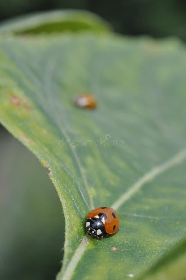 瓢虫叶子 库存图片