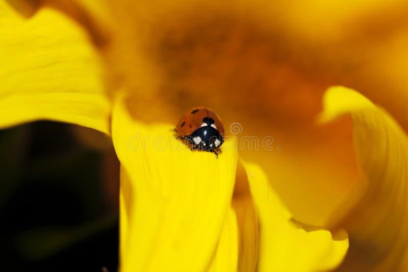 瓢虫向日葵 库存照片