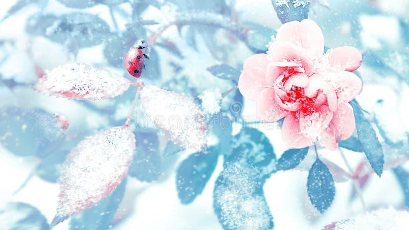 瓢虫和美好的桃红色玫瑰和蓝色叶子在雪和霜在一个冬天停放 在葡萄酒定调子的圣诞节艺术性的图象 皇族释放例证