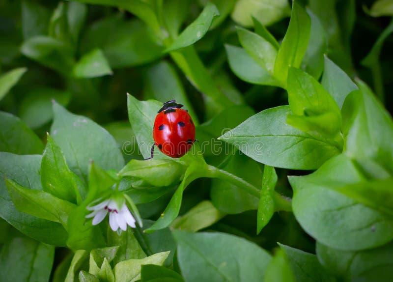 瓢虫和花 免版税库存图片