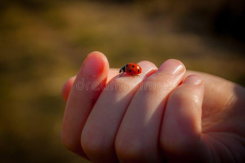 瓢虫在手中 库存图片