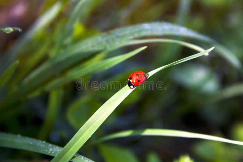 瓢虫在早晨森林里 库存图片