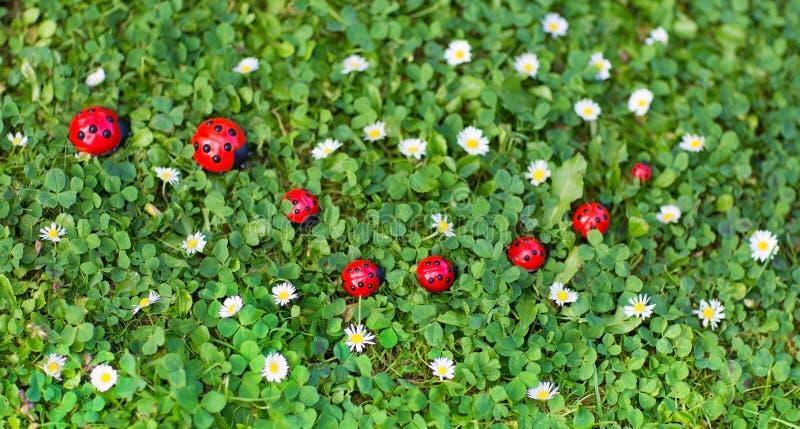 瓢虫在有许多的草坪戏弄小雏菊花 库存图片