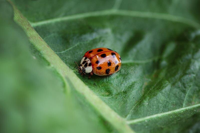 瓢虫在绿色叶子,绿色背景明亮地爬行 昆虫,在绿色叶子关闭的瓢虫 软和选择聚焦 免版税库存照片