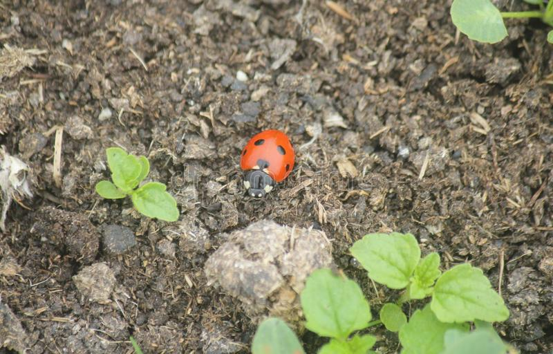 瓢虫在草甸 库存照片
