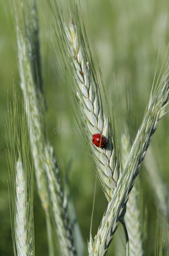 瓢虫在草甸 免版税图库摄影
