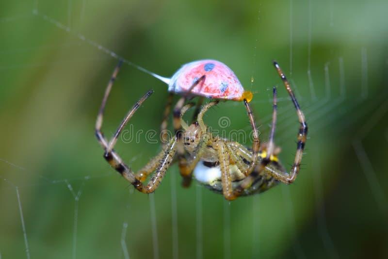 瓢虫宏观蜘蛛网换行 免版税图库摄影