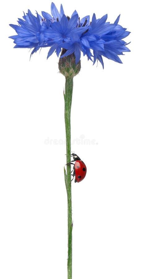 瓢虫瓢虫七地点 免版税库存照片