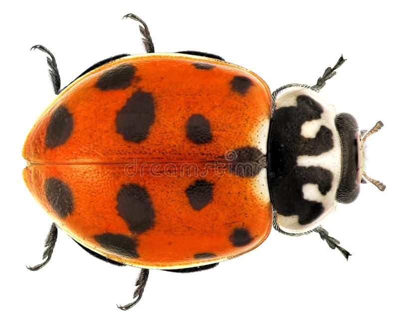 瓢虫瓢虫 库存图片