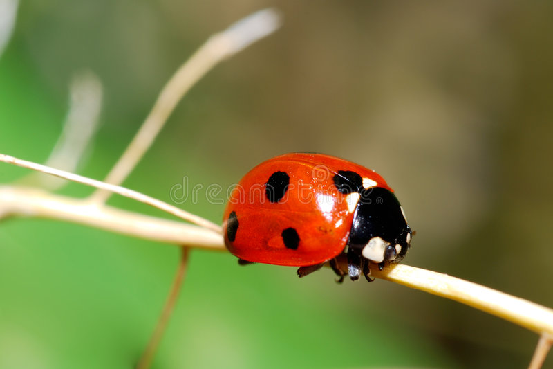 瓢虫红色 库存照片