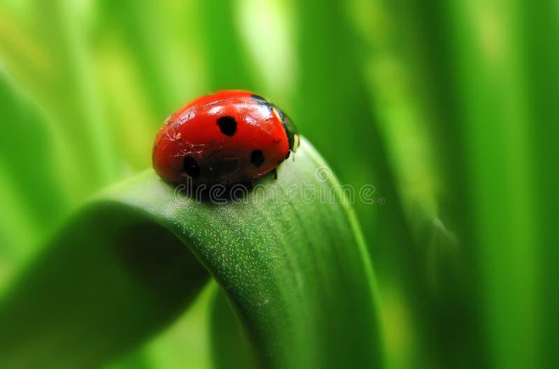 瓢虫红色 免版税库存图片