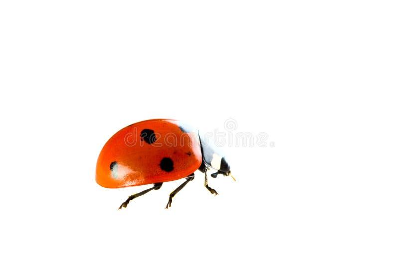 瓢虫红色 免版税库存照片
