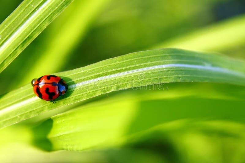 瓢虫绿色叶子在一好日子 库存图片