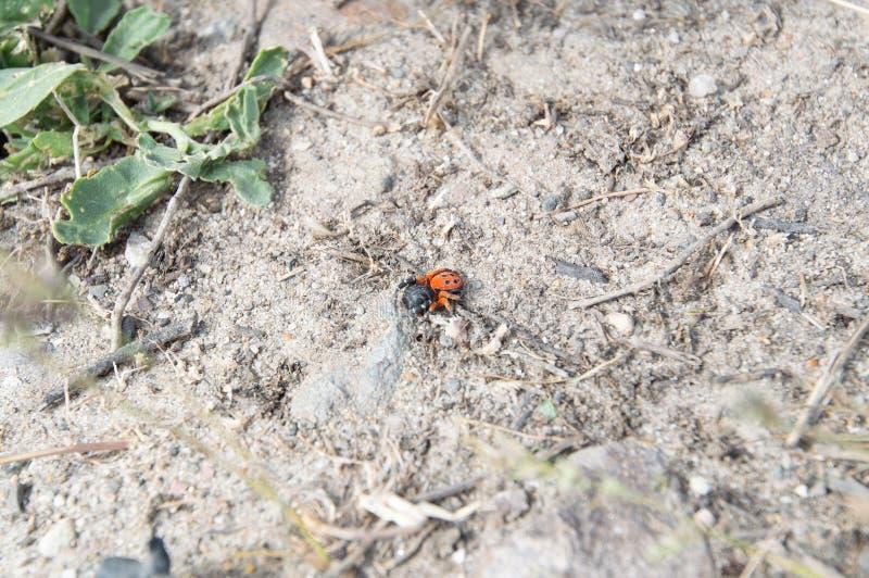 瓢虫蜘蛛或黑色Eresus kollari关闭 库存照片