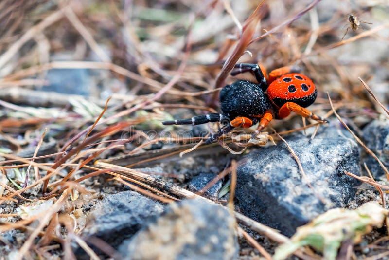瓢虫蜘蛛或Eresus kollari关闭 库存图片