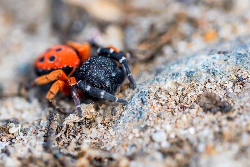 瓢虫蜘蛛或Eresus kollari关闭 免版税库存照片