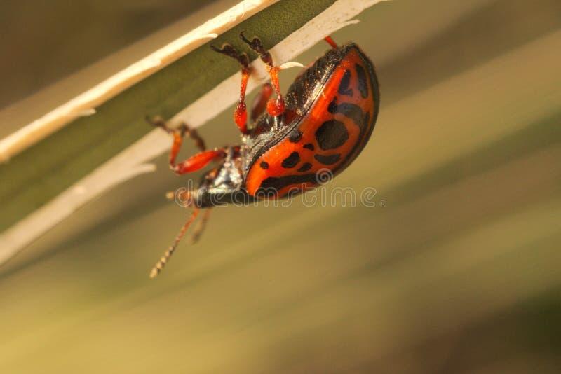 瓢虫西斯样式 库存图片