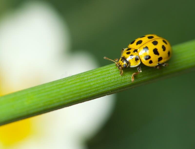 瓢虫黄色 库存图片