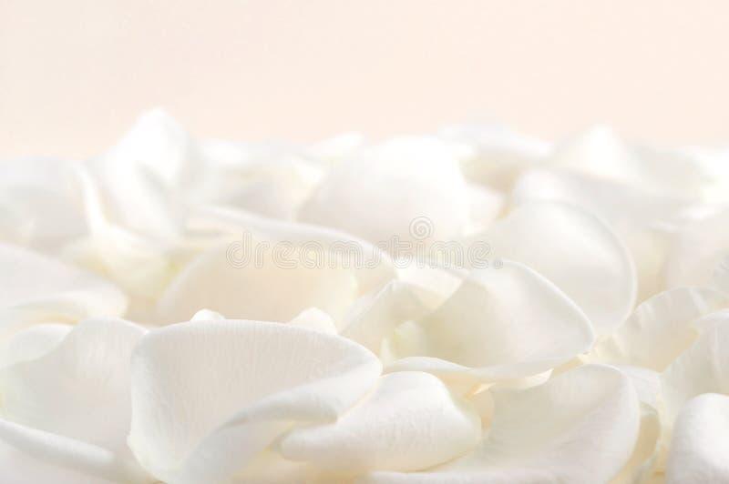 瓣玫瑰白色 图库摄影