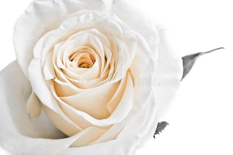 瓣玫瑰白色 库存图片